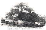 Cèdre du Liban dans le parc du Coteau © Archives municipales